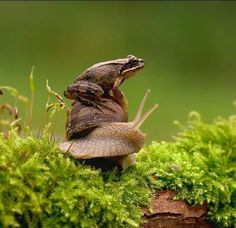 Theeere's a frog on the shell on the snail on the moss on the bump on the log in the middle of the woods.