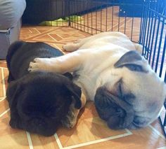 The cutest sleeping baby pugs ever! Photo by @basilandsigmundpugs Want to be featured on our Instagram? Tag your photos with #thepugdiary for your chance to be featured.