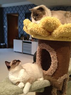 Cat Tree Furniture Photo Gallery...can see why Sunflower is such a popular tree!