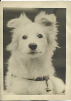c.1940s portrait of a white spitz, with a bell hanging from its collar. Normally I collect older photos but this image was so exceptional, I couldn't help myself (who could resist that face?). No identification of photographer or dog. From bendale collection