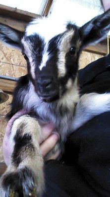 Baby Goats and Friends Barn Animals, Baby Goats, Wholesale Bags, Mk Bags, Wild Things, Adorable Animals, Totes, Jar, Goats