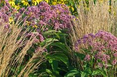 Eupatorium tucked in amongst Rudbeckia 'Herbstsonne,  Karl Foerster feather reed grass and fountain grass