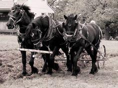 percheron horses | Percheron Draft Horses by ~Chris01125 on deviantART