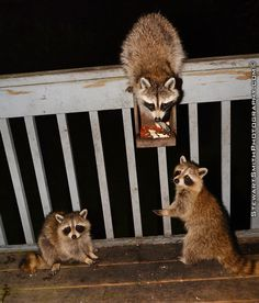 I have a family of raccoons that live in my back yard... We've become friends since November of 2013.... I do not touch them .. Just admire them, feed them from time to time , love them and enjoy their company. #raccoon #raccoons #animal #animals #furbaby #bandit #friend #mainecoon