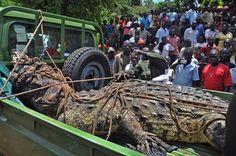 Immer wieder sorgen die ugandischen Riesen-Reptilien für Schlagzeilen: So zuletzt, als Tierschützern Ende März ein 800-Kilo-Krokodil ins Netz ging.