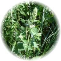Herbs gallery - Catnip