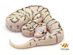 Killer Bee Fire - Morph List - World of Ball Pythons Pics Of Snakes, Snake Images, Pet Ball, Burmese Python, Python Regius, Ball Python Morphs, Cute Reptiles, Cute Snake, Python Snake
