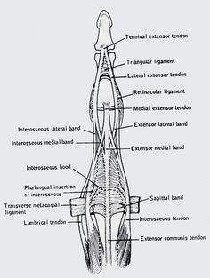 Triangular ligament of the finger (prevents volar shifting of the lateral bands), Saggital bands (prevents dorsal bowstringing)