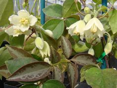 Clematis fasciculiflora, late winter bloomer, marked foliage