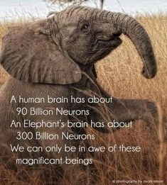 Elephants are one of the smartest creatures on earth Elephant Brain, Elephant Facts, Elephant Love, Elephant Spirit Animal, Elephants Never Forget, Save The Elephants, Baby Animals, Funny Animals, Cute Animals
