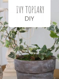 IVY TOPIARY DIY Make your own ivy topiary using a wire dry cleaner's hanger and a small ivy plant in English Ivy Indoor, English Ivy Plant, Ivy Plant Indoor, Topiary Trees, Topiary Plants, Topiaries, Diy Trellis, Ivy Plants, Plant Nursery