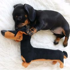 Caption for pic #Twinning #SoCute @loulouminidachshund Tap the link in my Bio to Shop Apparel and Gifts for Dachshund Lovers ❤️ #dachshund #dachshundlove #dachshundsofinstagram #dachshundpuppy #dachshundonly #thedoxieworld #doxie #doxies #doxiesofinstagram #sausagedog #puppylove #dog #dog #dachshundlover #lodachshund