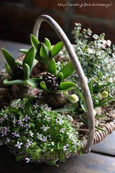 ヒヤシンスの寄せ植えの画像 | フローラのガーデニング・園芸作業日記