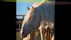 Saphiro ~ Cremello Lusitano Stallion, via YouTube.