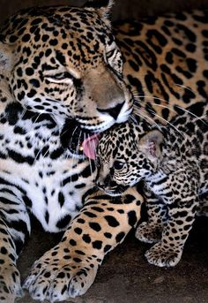 Jaguar mom licking baby Jaguar. So adorable! Actually animals have feelings just like humons.