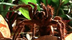 World's Weirdest - World's Biggest Spider KILL IT KILL IT WITH FIRE!!!!!!!!!!!!!!!!!!!!!!!!!!!!!