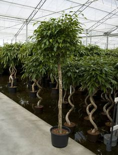 The Marginata Braid is a glamorous plant which is perfect for internal landscaping. Furthermore, with indoor plant rental you can get this amazing plant at really great prices. Make sure that you use this plant and see for yourself how people are amazed and awed by it. http://plantrental.livejournal.com/1350.html