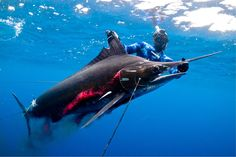 NEW WORLD RECORD! Spearfishing Striped Marlin