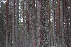 Highlands. Cairngorm Park. Pino scozzese nella foresta caledonica.
