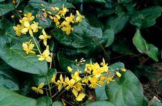 Barrenwort (Epimedium pinnatum subsp. colchicum) - Tolerates shade and acidic soil.