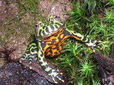 fire bellied toad | Oriental Fire-bellied Toad