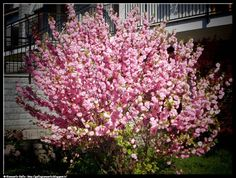 Prunus - photograpic processing (200) I continue the publication of photographs processed with hdr technique and other -arbustivo, arbusto, cespuglio.......