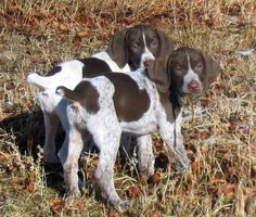 I would love to adopt a pup that is part german shorthaired pointer.  Simply adorable.