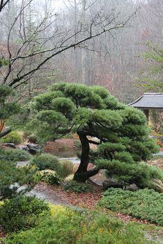 """Juniperus chinensis """"Pfitzeriana"""""""