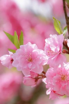Gorgeous Pink Blossoms