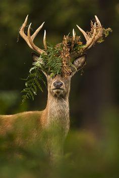 Red Deer in autumn