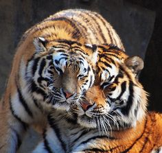 Loving Tigers | by Candlepop3