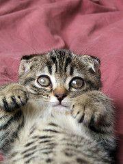 A Scottish Fold Kitten. Cute!!