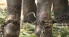 Sign the petition to free Gajraj, who has spent half a century in chains.