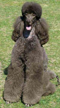 standard poodles   Standard Poodles - Dogs - Ornella