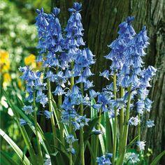 English Bluebells - Woodland Flower Bulbs - Van Meuwen
