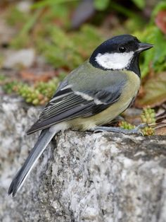 British garden birds - Great tit