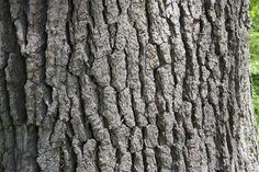 quercus alba bark - Google Search