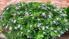 """""""mexican oregano A True Jack Of All Trades Full Sun and Realistic Drought tolerant Trees Zone 8 Fresh 28 Drought tolerant Trees Zone 8 Garden Shrubs, Diy Garden, Shade Garden, Lawn And Garden, Potager Garden, Garden Plants, Deer Proof Plants, Deer Resistant Plants, Texas Gardening"""