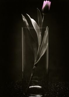 Photo of Pink Tulip in Clear Vase  5x7 by terrymillsphoto on Etsy, $12.00