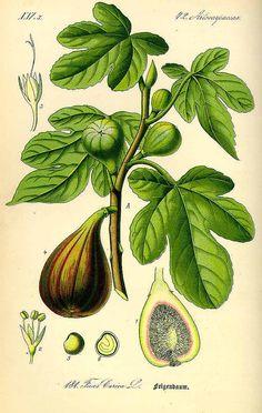 Fig Ficus carica L. / Thomé, O.W., Flora von Deutschland Österreich und der Schweiz, Tafeln, vol. 2: t. 181 (1885)