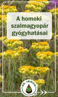 A homoki szalmagyopár értékes gyógynövény, melyet a népgyógyászat több száz éve használ jótékony hatásai miatt. Cikkünkben részletesen bemutatjuk Önnek a szervezetre gyakorolt jótékony hatásait! Látogasson el oldalunkra! Népies neve: sárgagyopár, homoki gyopár, homoki szalmavirág, homoki bársonyvirág. Helichrysum Italicum, Health 2020, Kraut, Florals, Curry, Spices, Medical, Herbs, Plants