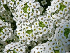 Lobularia Maritima - Sweet Alyssum. Outstanding for attracting beneficial insects.