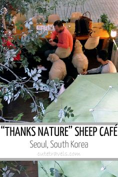 this is prossibly the most freaky and bizarre novelty cafe idea I have seen from the far east , look japan the koreans beat you at batty places to get a brew .baaa Seoul's Sheep Café called Thanks Nature.perhaps Gritty City needs a goat cafe. South Korea Seoul, South Korea Travel, Asia Travel, Solo Travel, Working Holidays, Relaxing Day, Future Travel, Adventure Is Out There, Wanderlust Travel