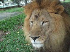 El leon Cesar Fernando será el rey del safari nocturno
