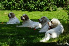 Clumber Spaniel girls - Mum Velvet and daughters Clumber Spaniel, Spaniels, Spaniel Breeds, Cutest Dogs, English Springer, Climber, Working Dogs, Dog Love, Daughters