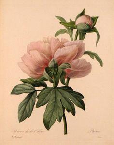 """Pierre-Joseph Redouté (1759-1840) """"Pivoine de Chine"""", vers 1820"""