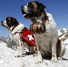 Two Saint Bernard dogs sit in the snow on the Great St. Bernard Pass after returning from their winter quarters in Martigny, Switzerland. The dogs will spend the summer on the pass and return to Martigny towards the end of. St Bernard Rescue, St Bernard Dogs, Big Dogs, Dogs And Puppies, Yorkie Puppies, Small Dogs, Doggies, Dogs With Jobs, Search And Rescue Dogs