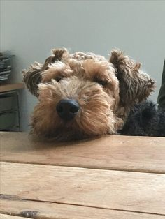 I am sitting here patiently. Now can I have a cookie? #Welsh #Terrier