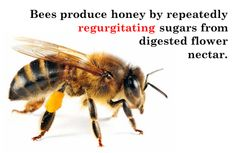 scienceandfood:  From 6 Things About Eating Insects  What is honey? The excrement of an insect. If you actually consciously think about what honey is itll disgust you. But we are familiar with it we have an interpretation of it being sweet. Hell in English well say Honey I love you. -Alex Atala Eater 2011  #food #Science