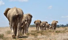 The census estimated there to be a total of 352,271 savanna elephants in 18 African countries. Photograph: Tony Karumba/AFP/Getty Images